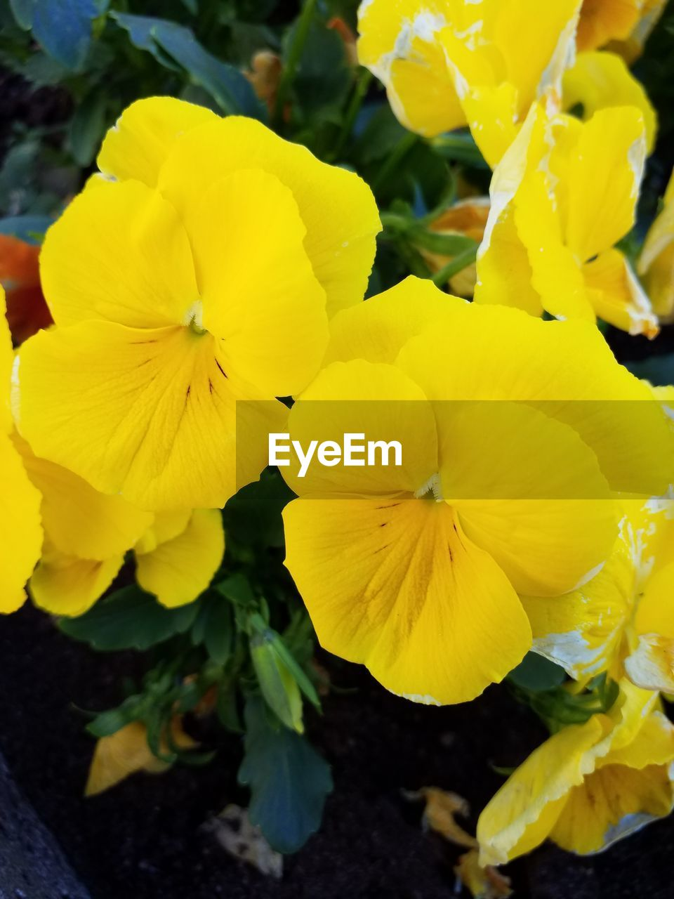 flower, flowering plant, yellow, fragility, vulnerability, petal, beauty in nature, plant, inflorescence, flower head, freshness, close-up, growth, nature, day, no people, focus on foreground, outdoors, pansy, botany