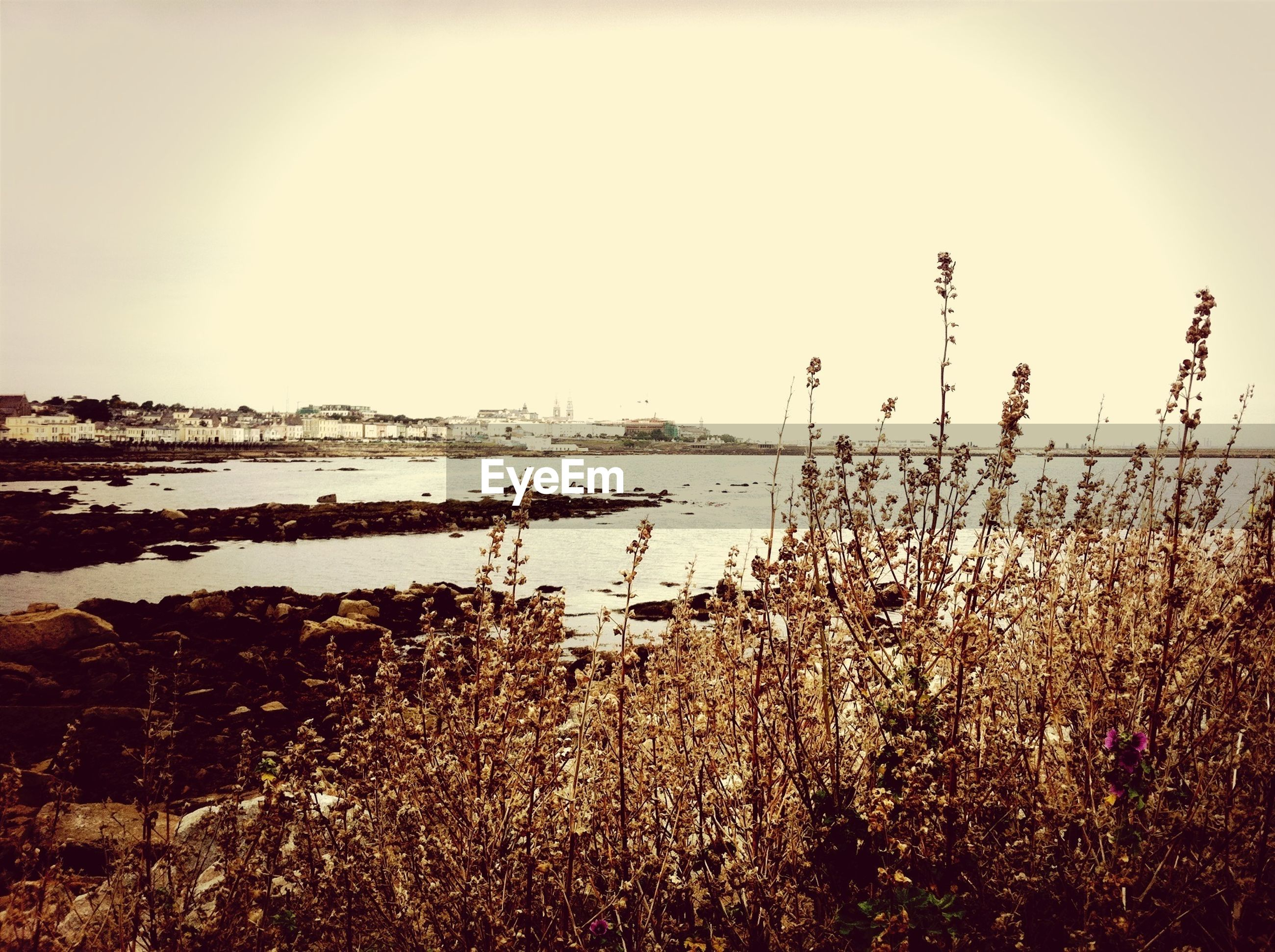 Dry plants on lakeshore