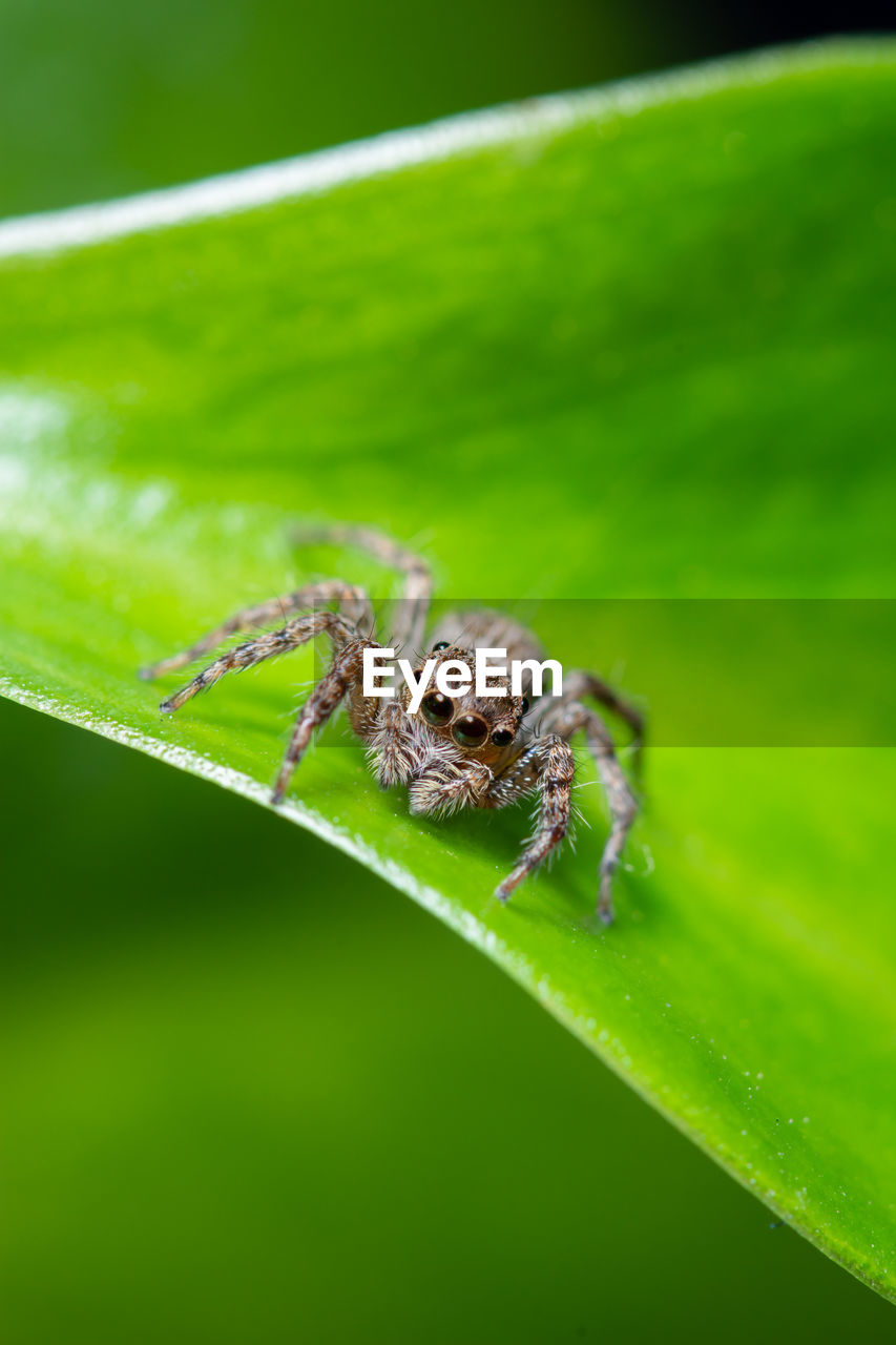 animal themes, animal, animal wildlife, animals in the wild, one animal, arachnid, invertebrate, plant part, insect, green color, leaf, arthropod, spider, jumping spider, close-up, plant, nature, zoology, no people, selective focus, outdoors, animal leg, animal eye