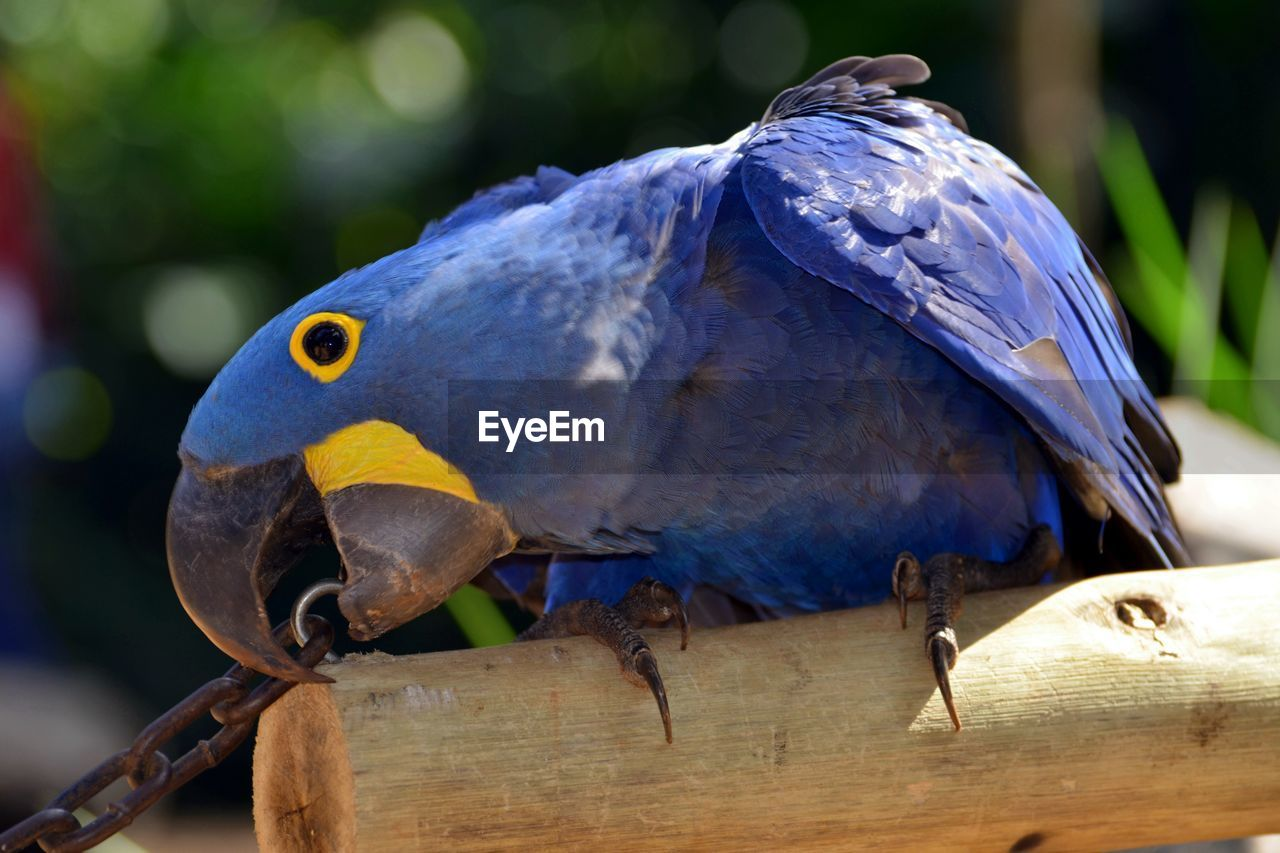 Close-up of blue parrot on log at zoo