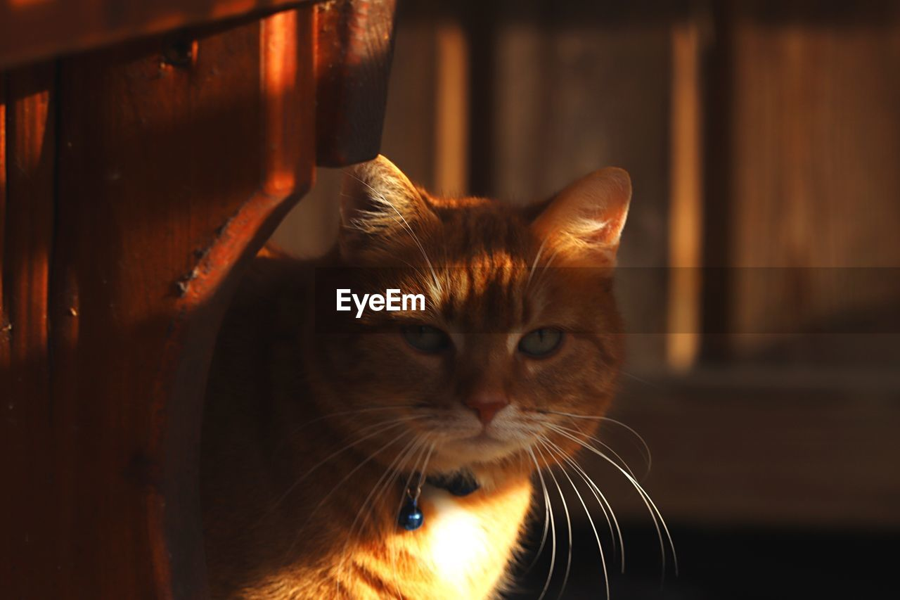 cat, pets, domestic, domestic animals, domestic cat, feline, mammal, animal themes, animal, one animal, vertebrate, indoors, no people, whisker, portrait, looking at camera, focus on foreground, close-up, looking, home interior, animal head, ginger cat, mouth open