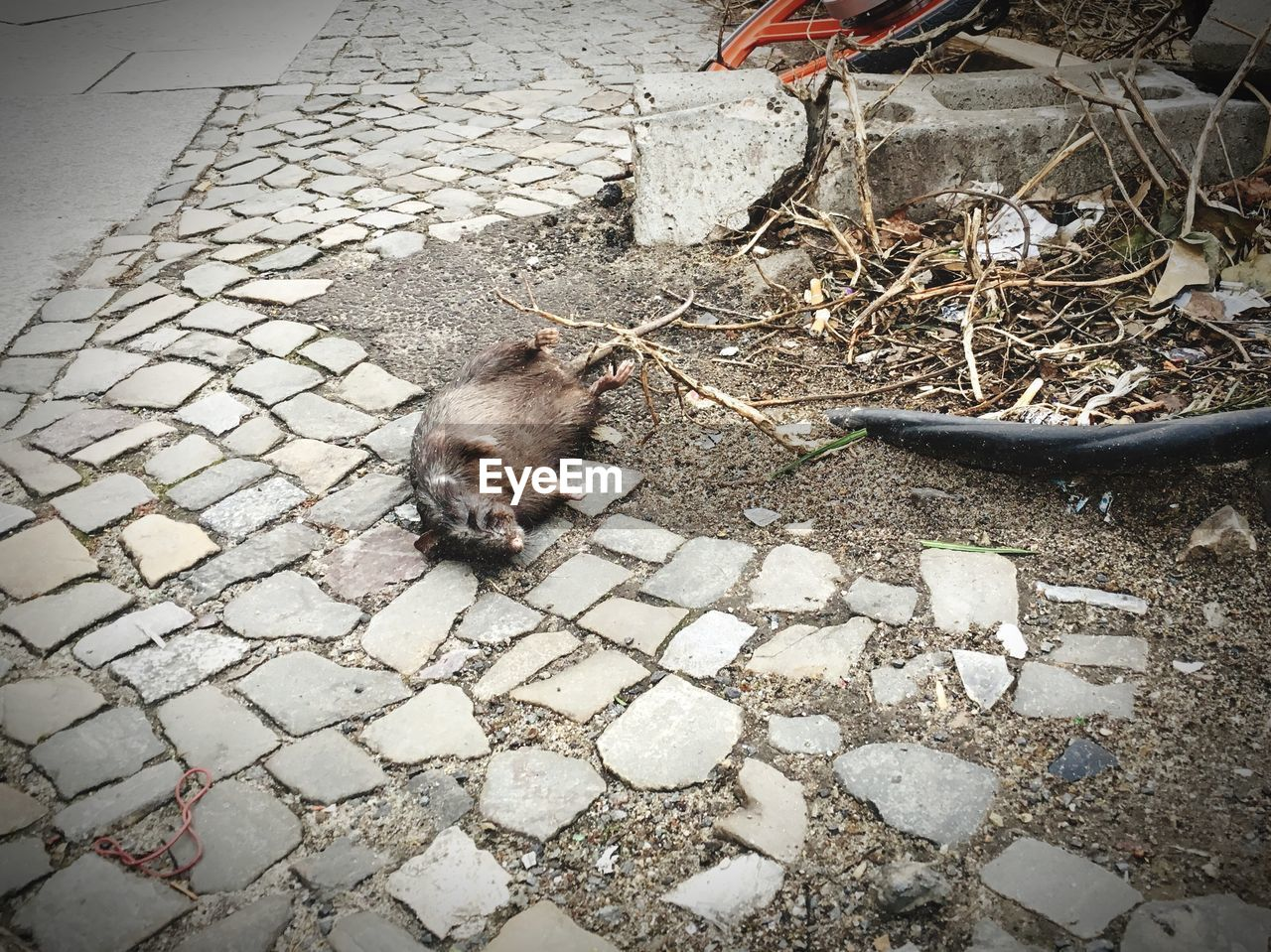 one animal, animal, animal themes, high angle view, mammal, vertebrate, no people, rodent, animal wildlife, day, pets, animals in the wild, domestic, footpath, domestic animals, rat, outdoors, nature, street, city, paving stone