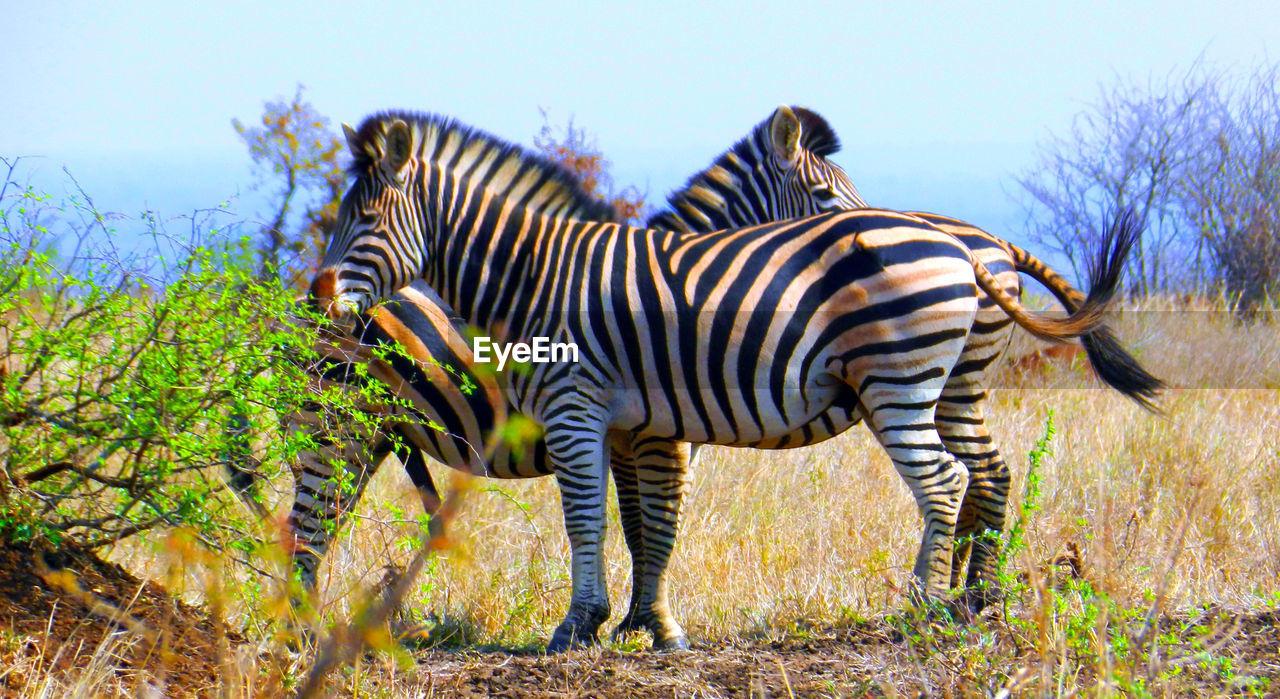 animal, animal themes, striped, animal wildlife, mammal, animals in the wild, plant, sky, nature, one animal, zebra, tree, no people, standing, vertebrate, land, day, grass, side view, field, herbivorous, outdoors