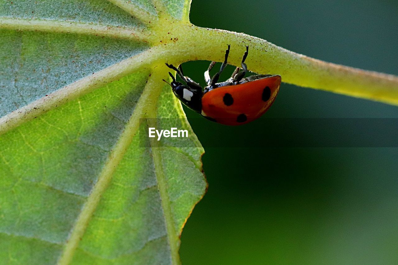 invertebrate, insect, animals in the wild, animal wildlife, animal themes, animal, one animal, plant part, close-up, leaf, beetle, ladybug, green color, plant, nature, no people, day, spotted, focus on foreground, red, outdoors