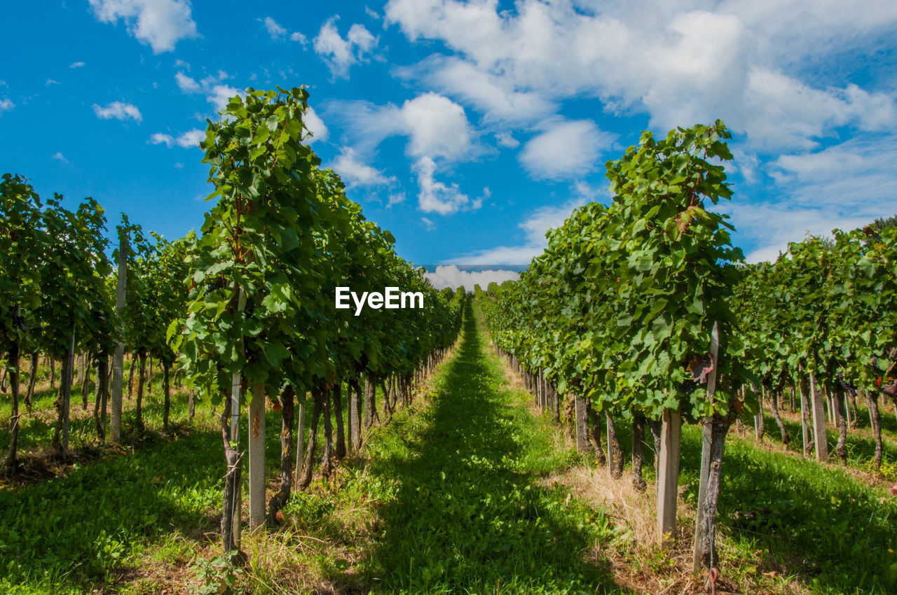 plant, sky, growth, cloud - sky, tree, land, agriculture, field, beauty in nature, nature, landscape, tranquility, green color, scenics - nature, in a row, tranquil scene, no people, day, environment, vineyard, diminishing perspective, outdoors, plantation, treelined, winemaking