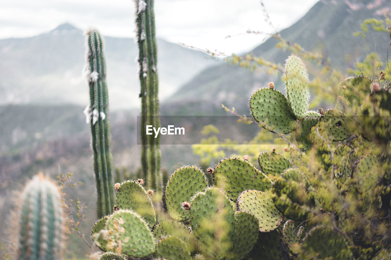 Cacti Growing Against Mountains