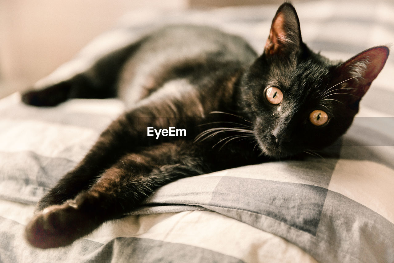 pets, domestic, animal, cat, animal themes, domestic animals, feline, domestic cat, mammal, vertebrate, one animal, relaxation, indoors, looking at camera, furniture, portrait, lying down, whisker, no people, resting, animal eye