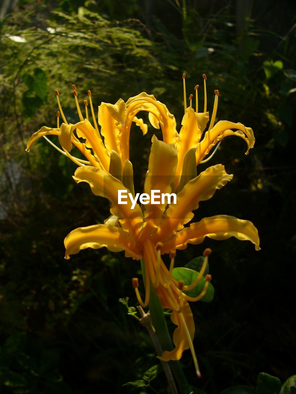 flower, petal, yellow, nature, fragility, plant, freshness, growth, beauty in nature, outdoors, no people, flower head, close-up, day, day lily