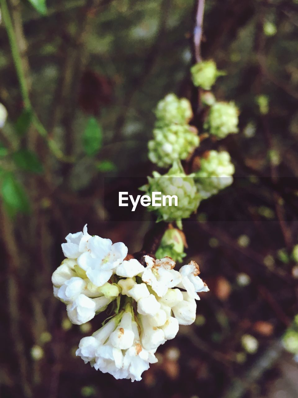 flower, nature, growth, beauty in nature, fragility, blossom, white color, focus on foreground, freshness, day, no people, apple blossom, close-up, outdoors, tree, petal, plant, springtime, flower head, blooming