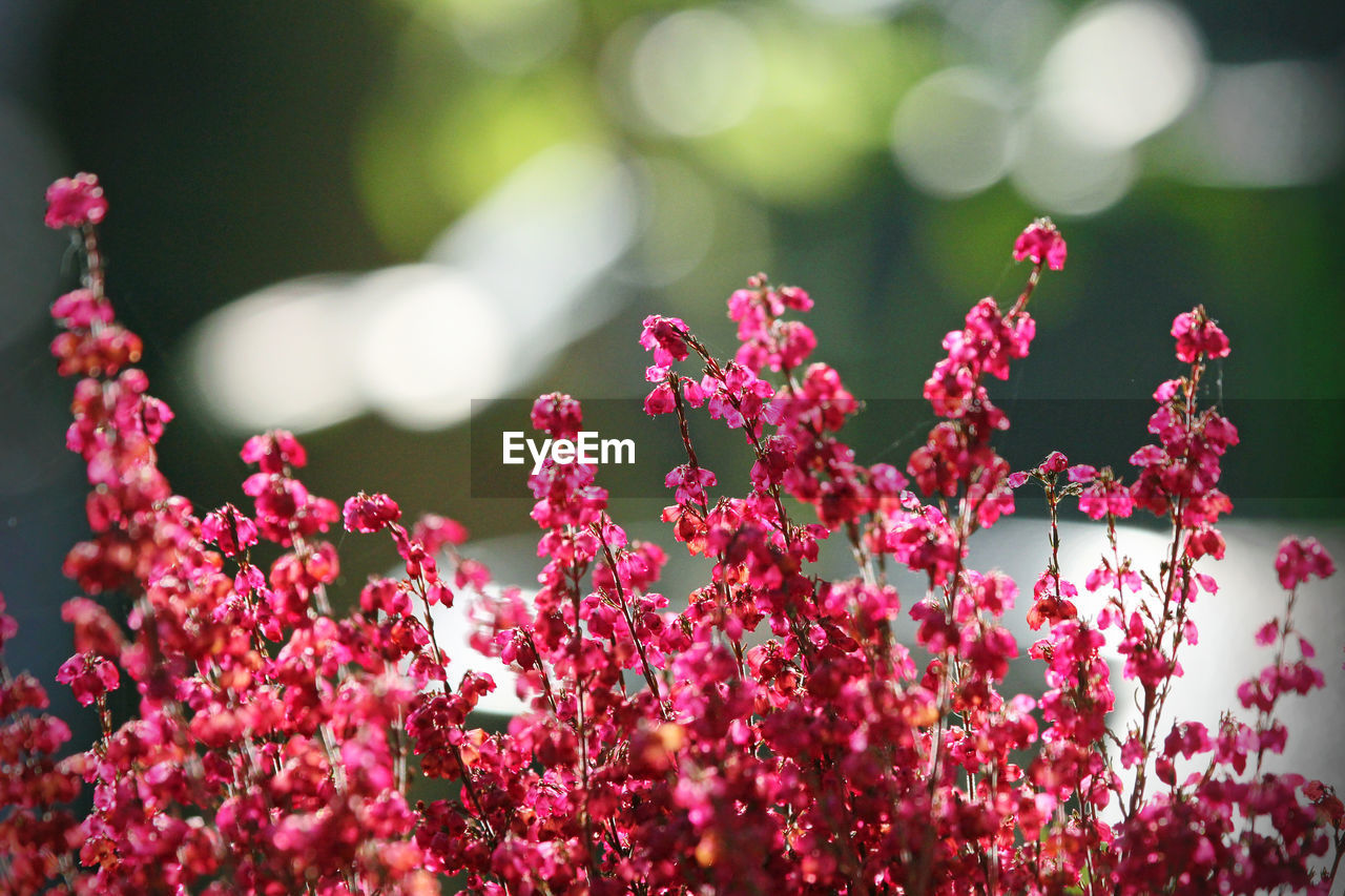 flower, beauty in nature, fragility, growth, nature, freshness, plant, petal, day, outdoors, no people, blooming, pink color, focus on foreground, close-up, springtime, flower head, bougainvillea