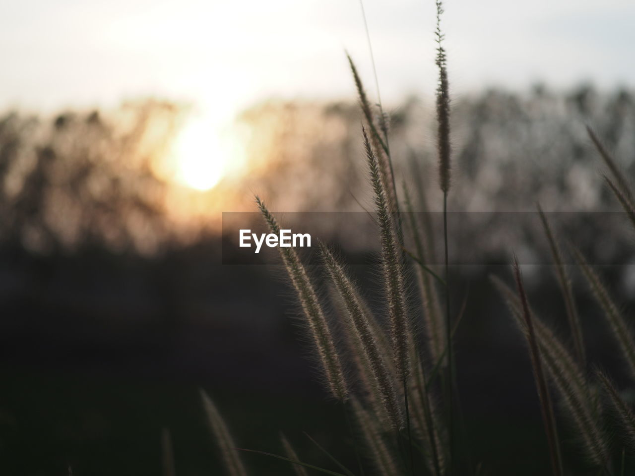 plant, growth, close-up, nature, focus on foreground, beauty in nature, tranquility, sky, no people, sunset, selective focus, outdoors, field, agriculture, day, land, grass, crop, sunlight, stalk, timothy grass
