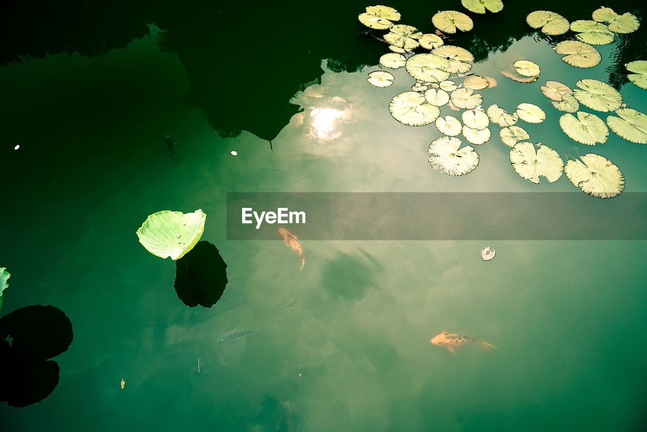 water, nature, beauty in nature, high angle view, no people, swimming, floating on water, underwater, flower, growth, outdoors, sea life, day, lily pad, close-up