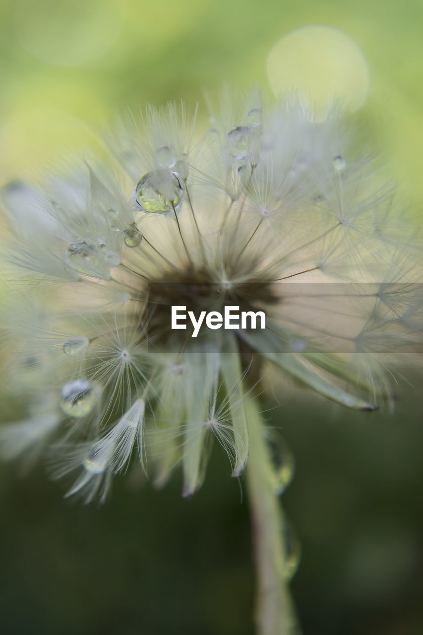 flower, dandelion, fragility, dandelion seed, nature, softness, flower head, growth, selective focus, close-up, plant, freshness, beauty in nature, no people, outdoors, day