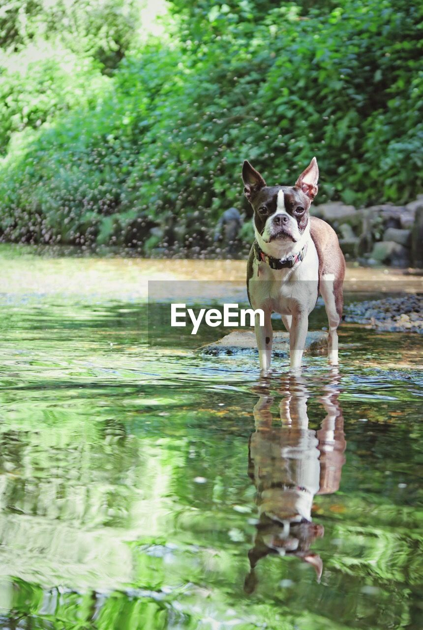 Reflection of a dog in lake