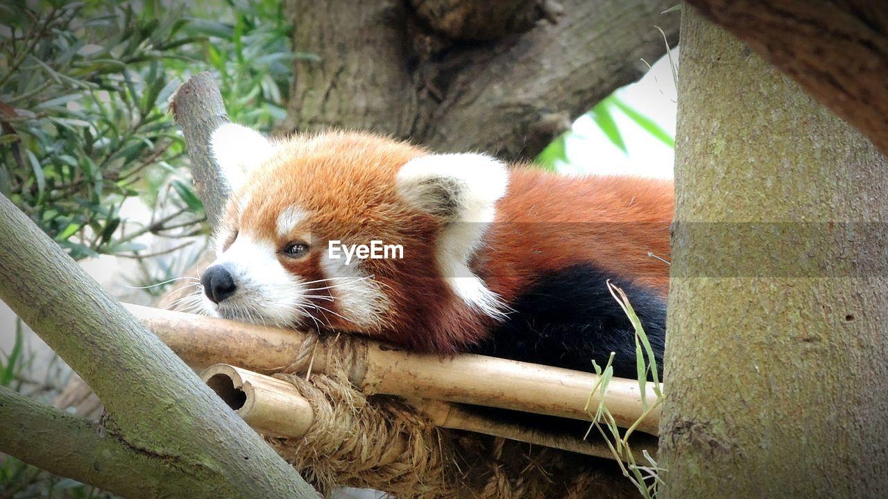 Red Panda Relaxing On Bamboos