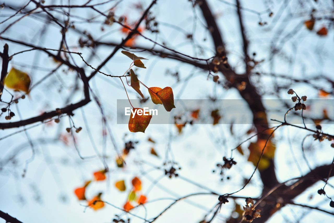 plant, tree, branch, fruit, food, focus on foreground, no people, orange color, nature, food and drink, beauty in nature, low angle view, day, growth, healthy eating, sky, winter, close-up, cold temperature, outdoors