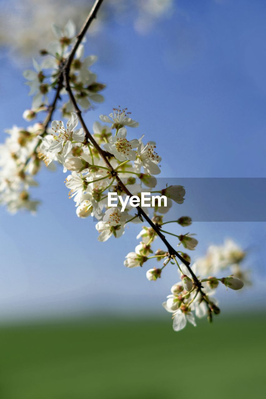 flowering plant, plant, flower, fragility, beauty in nature, freshness, vulnerability, growth, tree, nature, blossom, springtime, sky, close-up, petal, no people, branch, day, focus on foreground, white color, flower head, cherry blossom, outdoors, pollen, cherry tree