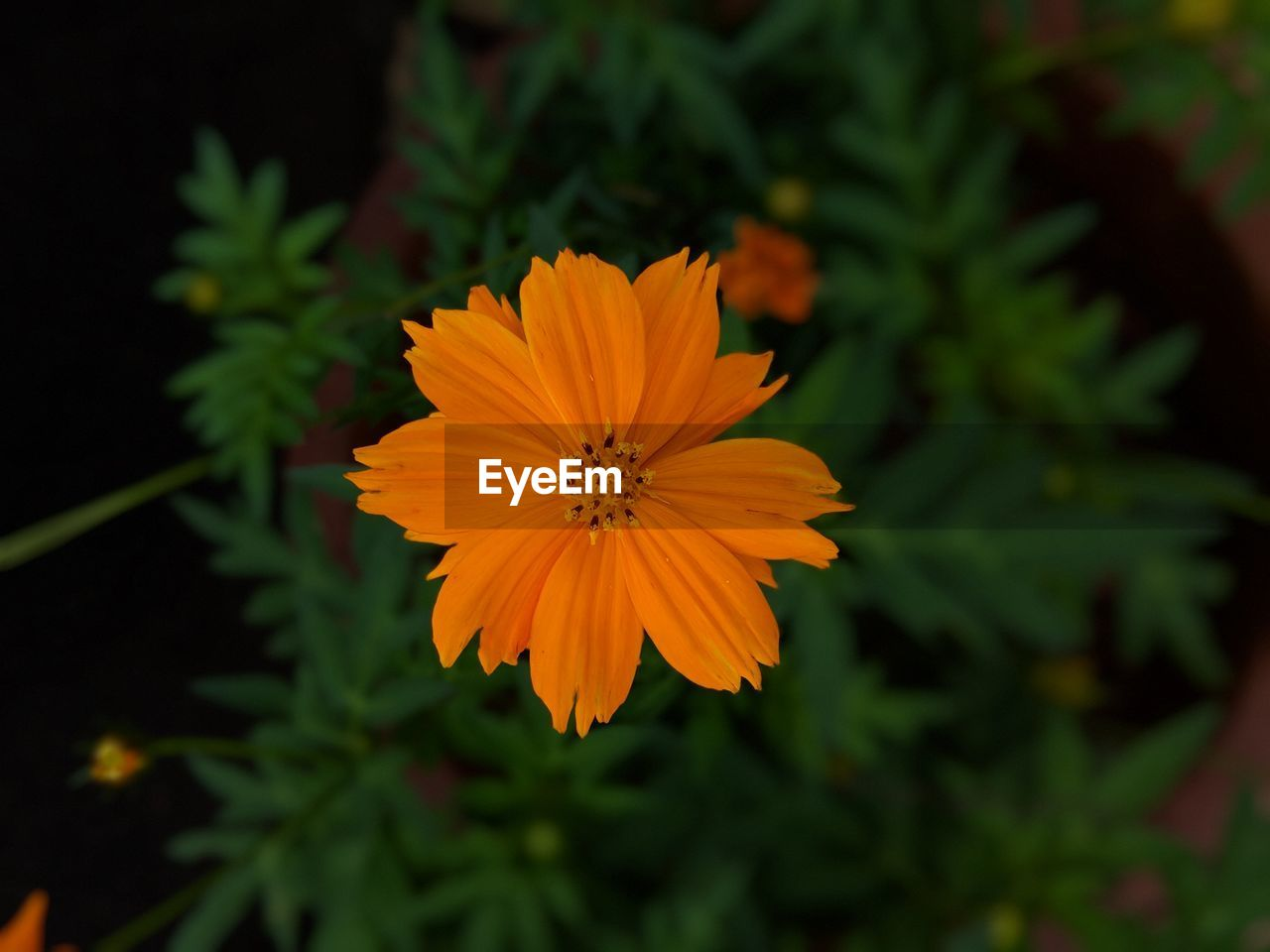 flowering plant, flower, petal, freshness, plant, fragility, inflorescence, vulnerability, flower head, beauty in nature, growth, close-up, orange color, focus on foreground, pollen, nature, no people, yellow, cosmos flower, outdoors, gazania