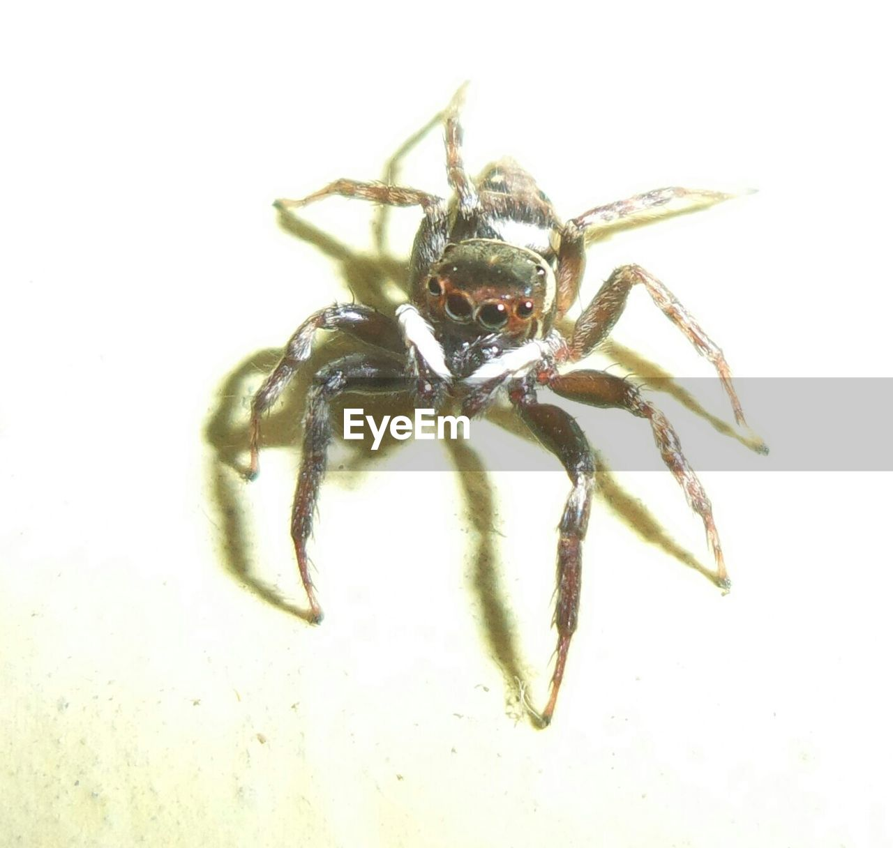 spider, one animal, animal themes, jumping spider, animal wildlife, animals in the wild, close-up, no people, white background, outdoors, day