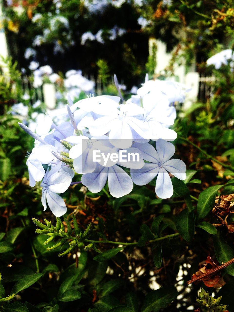 flower, white color, beauty in nature, fragility, nature, petal, freshness, growth, day, outdoors, flower head, plant, no people, blooming, close-up