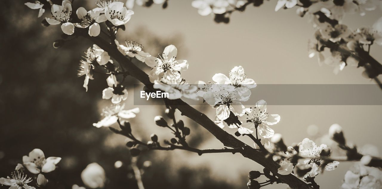 flower, fragility, beauty in nature, nature, growth, tree, blossom, freshness, branch, springtime, day, no people, petal, outdoors, focus on foreground, close-up, flower head, blooming, sky