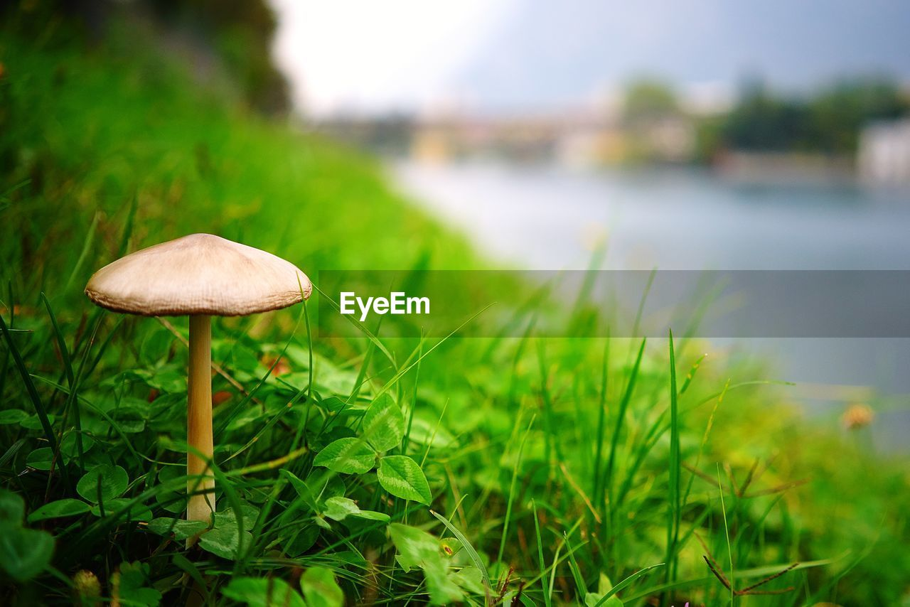 growth, mushroom, plant, fungus, vegetable, grass, food, nature, land, focus on foreground, close-up, green color, selective focus, beauty in nature, day, field, no people, toadstool, freshness, water, outdoors, surface level