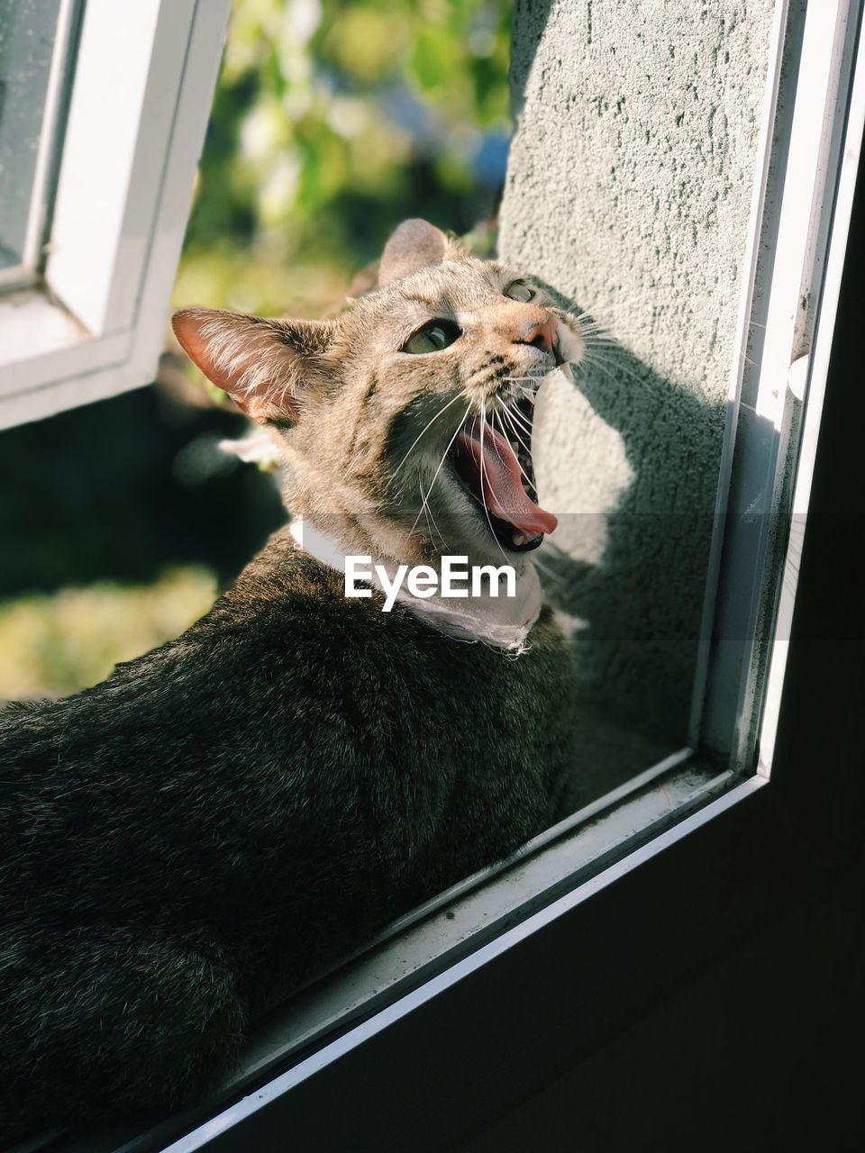 CLOSE-UP OF A ANIMAL YAWNING