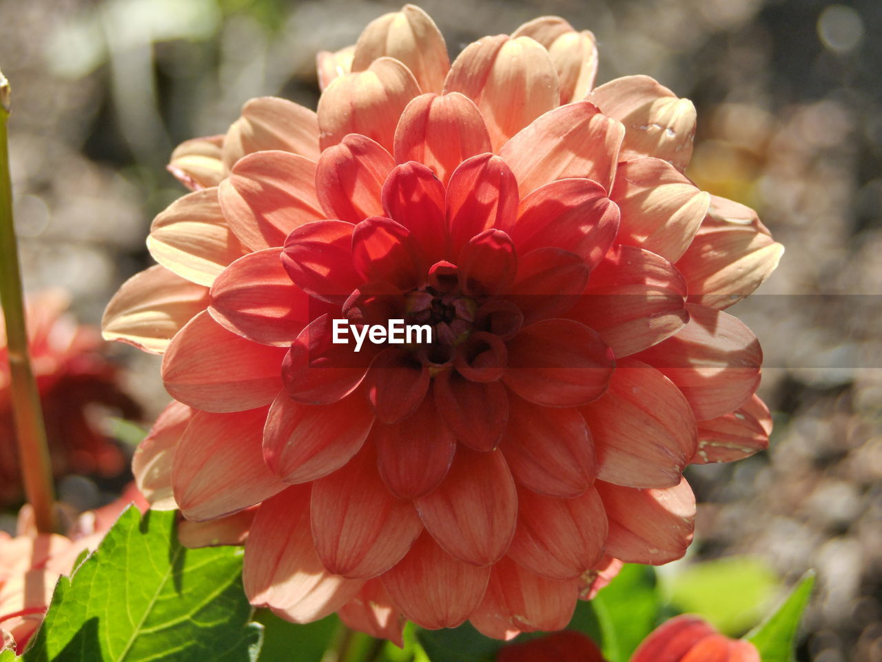 flower, petal, flower head, beauty in nature, fragility, nature, freshness, growth, focus on foreground, blooming, plant, close-up, red, dahlia, day, outdoors, zinnia, no people