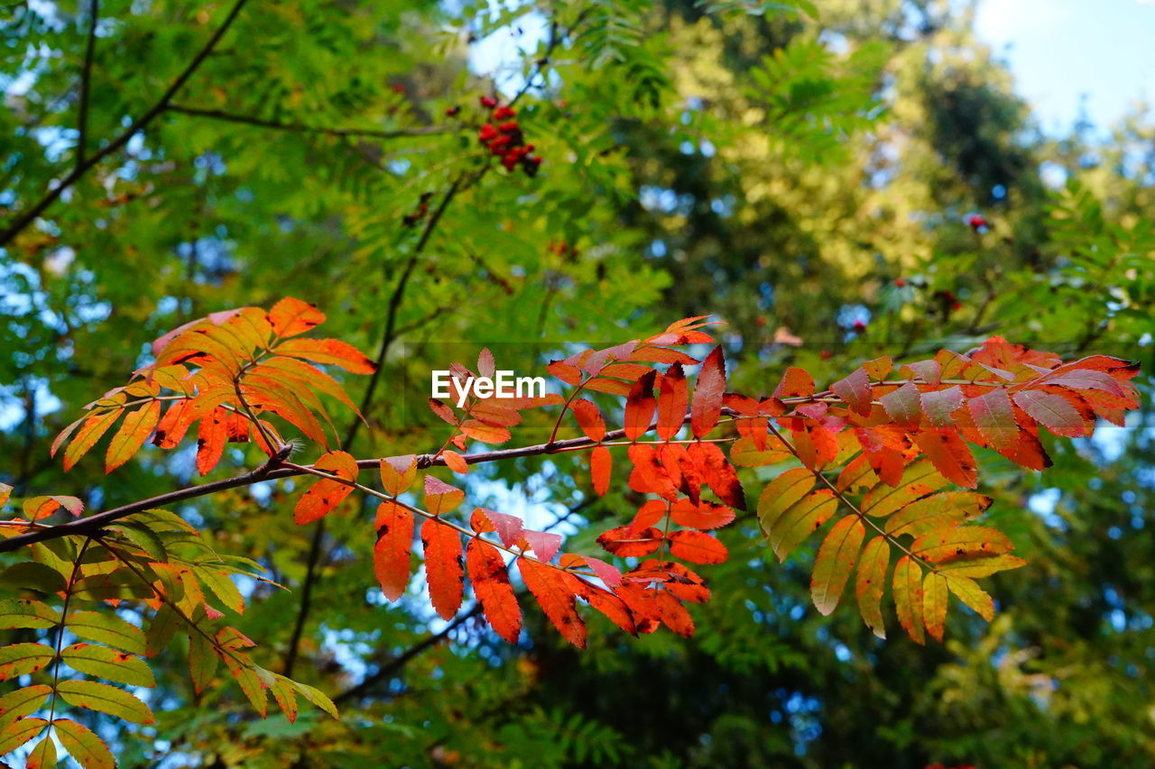 plant, tree, beauty in nature, autumn, growth, focus on foreground, orange color, leaf, plant part, close-up, change, no people, day, nature, branch, outdoors, green color, vulnerability, fragility, selective focus, maple leaf, leaves