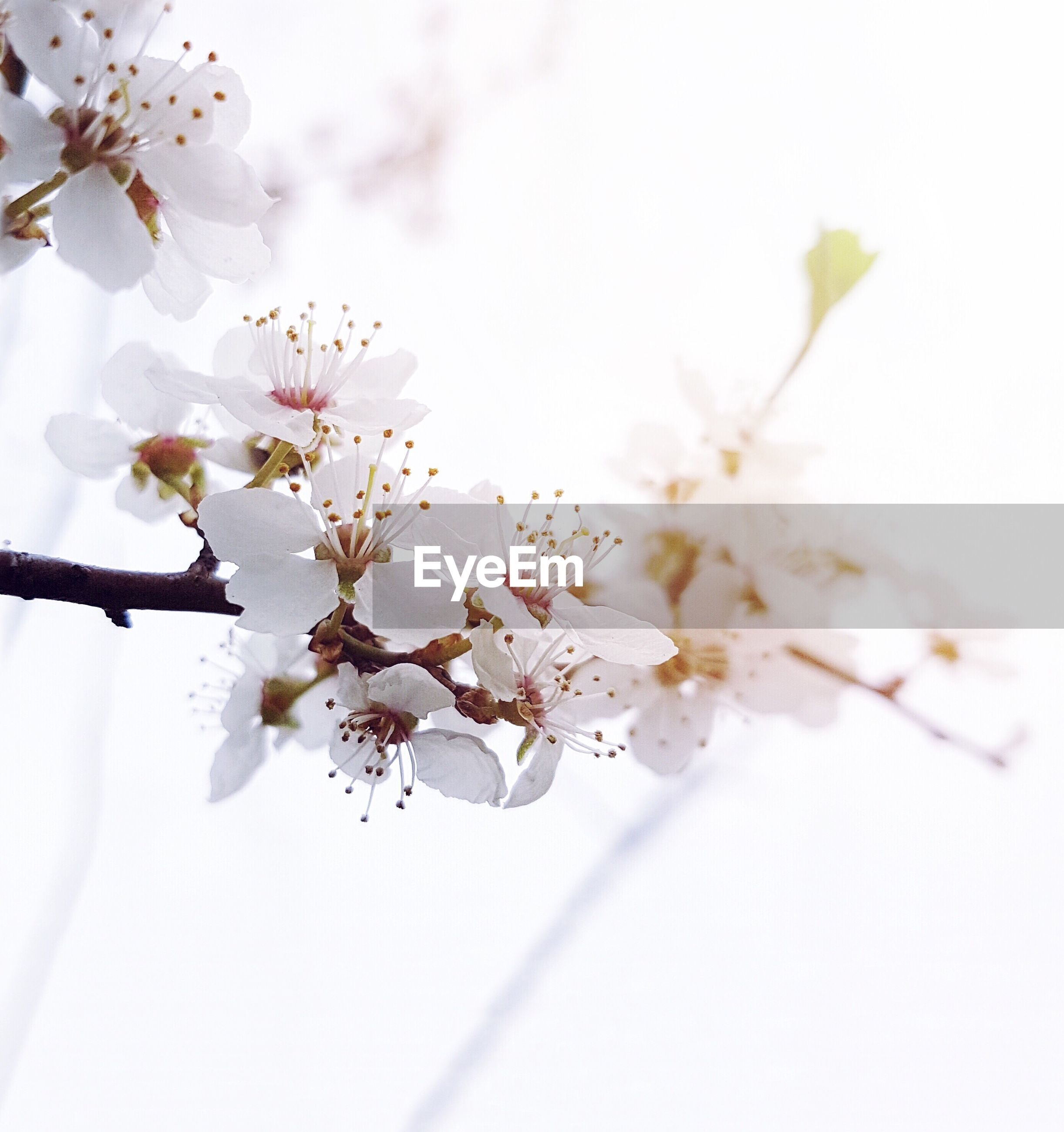 High angle view of cherry blossoms in spring