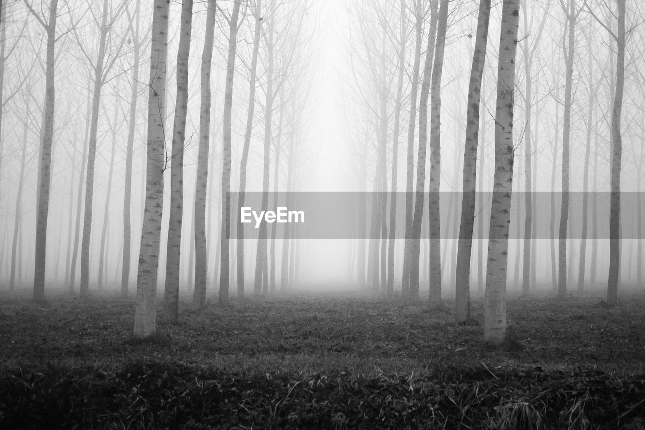 fog, tree, nature, landscape, tree trunk, hazy, tranquility, forest, mist, tranquil scene, bare tree, beauty in nature, outdoors, scenics, no people, day, branch, grass