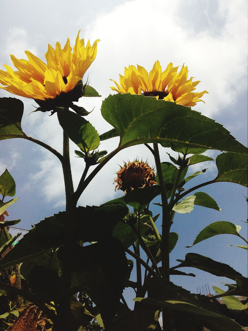 plant, flower, flowering plant, beauty in nature, growth, yellow, fragility, freshness, vulnerability, sky, nature, leaf, plant part, close-up, flower head, petal, inflorescence, cloud - sky, no people, day, outdoors, sunflower, sepal