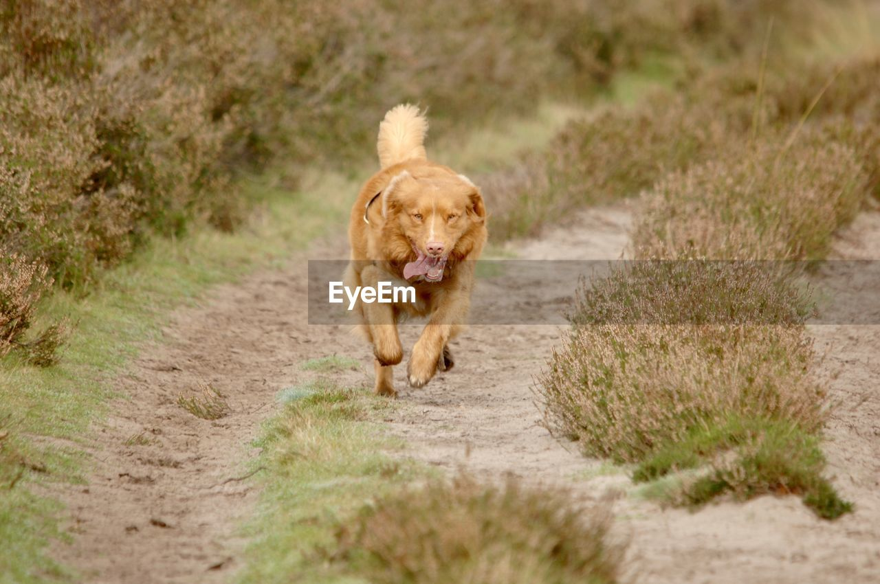 mammal, one animal, animal themes, animal, dog, canine, domestic, pets, domestic animals, running, road, vertebrate, retriever, dirt road, motion, walking, grass, plant, nature, footpath, no people, outdoors, mouth open