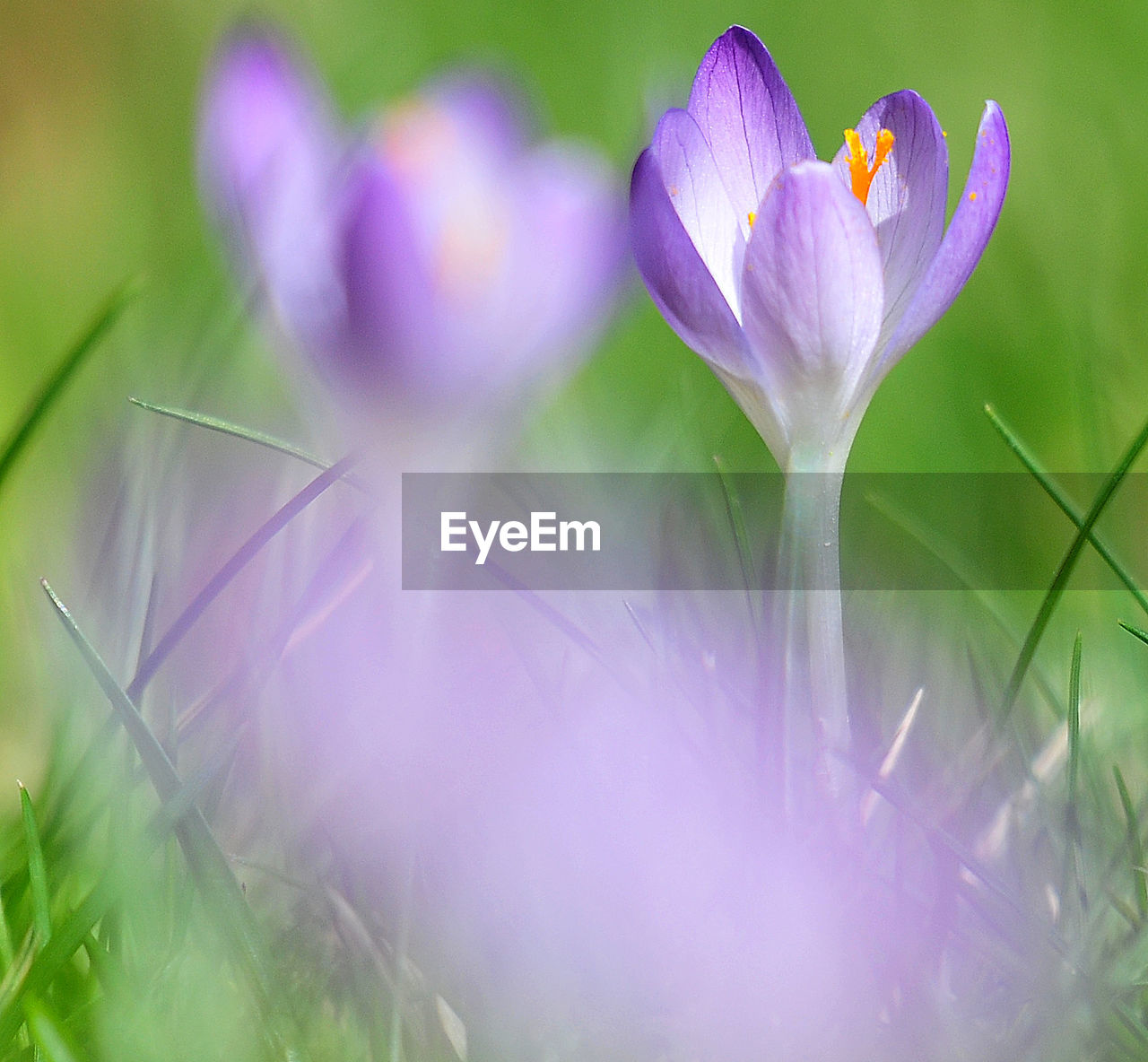 flower, beauty in nature, nature, petal, fragility, growth, freshness, flower head, plant, purple, selective focus, close-up, no people, outdoors, blooming, day, field, springtime, crocus, grass