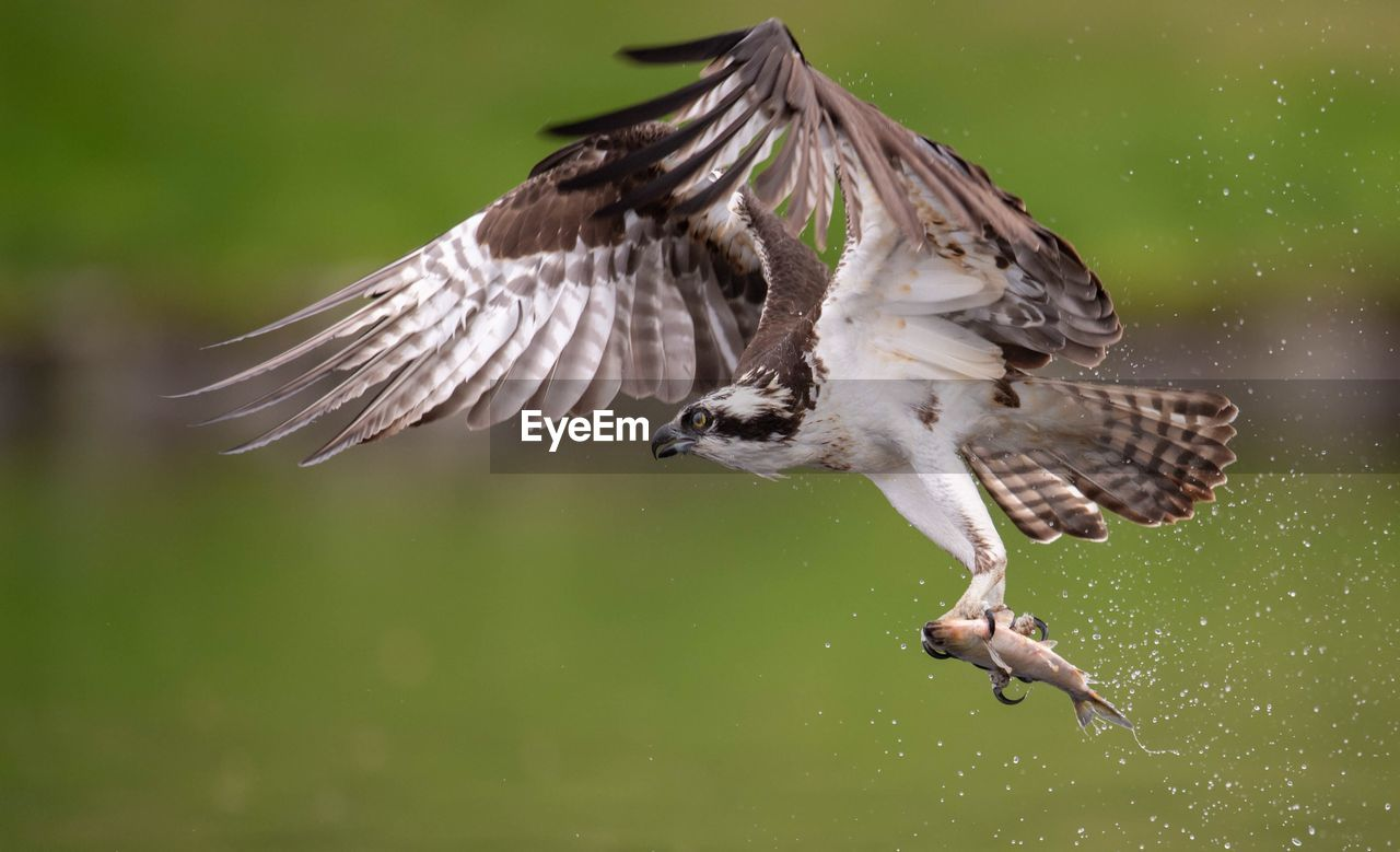 Close-Up Of Bird Carrying Fish While Flying Mid-Air