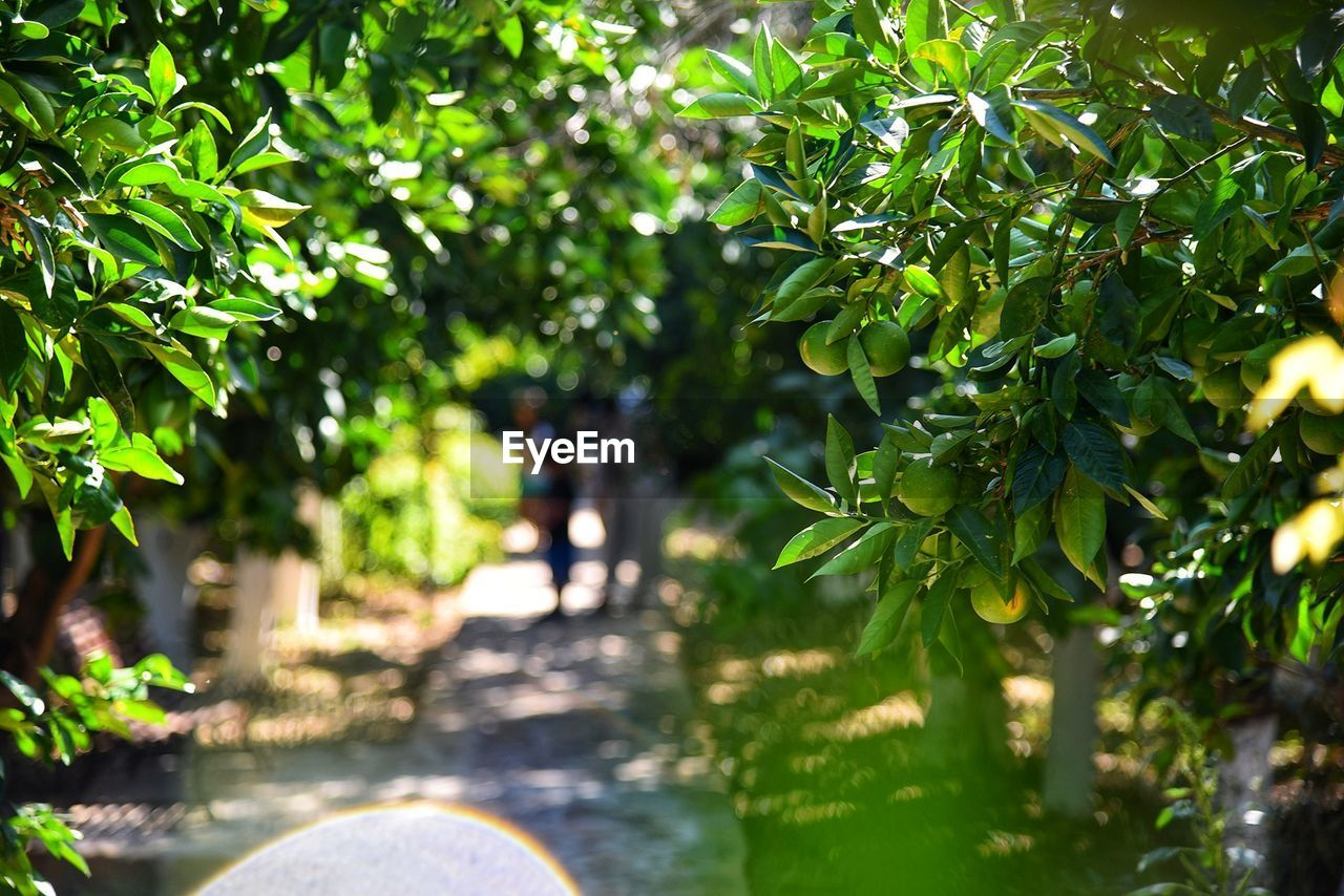 tree, growth, nature, outdoors, day, leaf, fruit, green color, no people, plant, freshness, beauty in nature, close-up