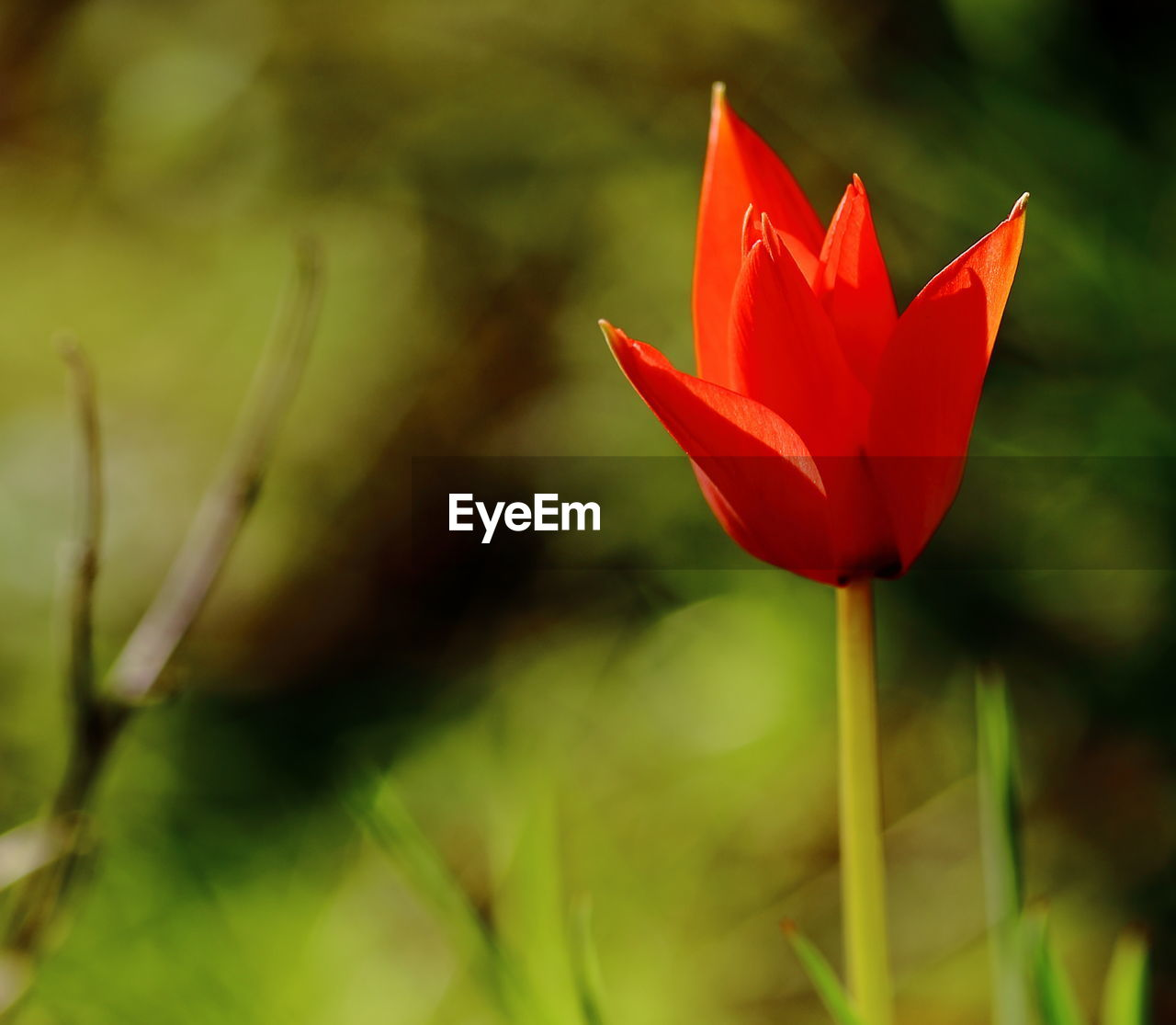 flower, nature, growth, beauty in nature, petal, fragility, red, plant, flower head, close-up, outdoors, freshness, no people, day, blooming