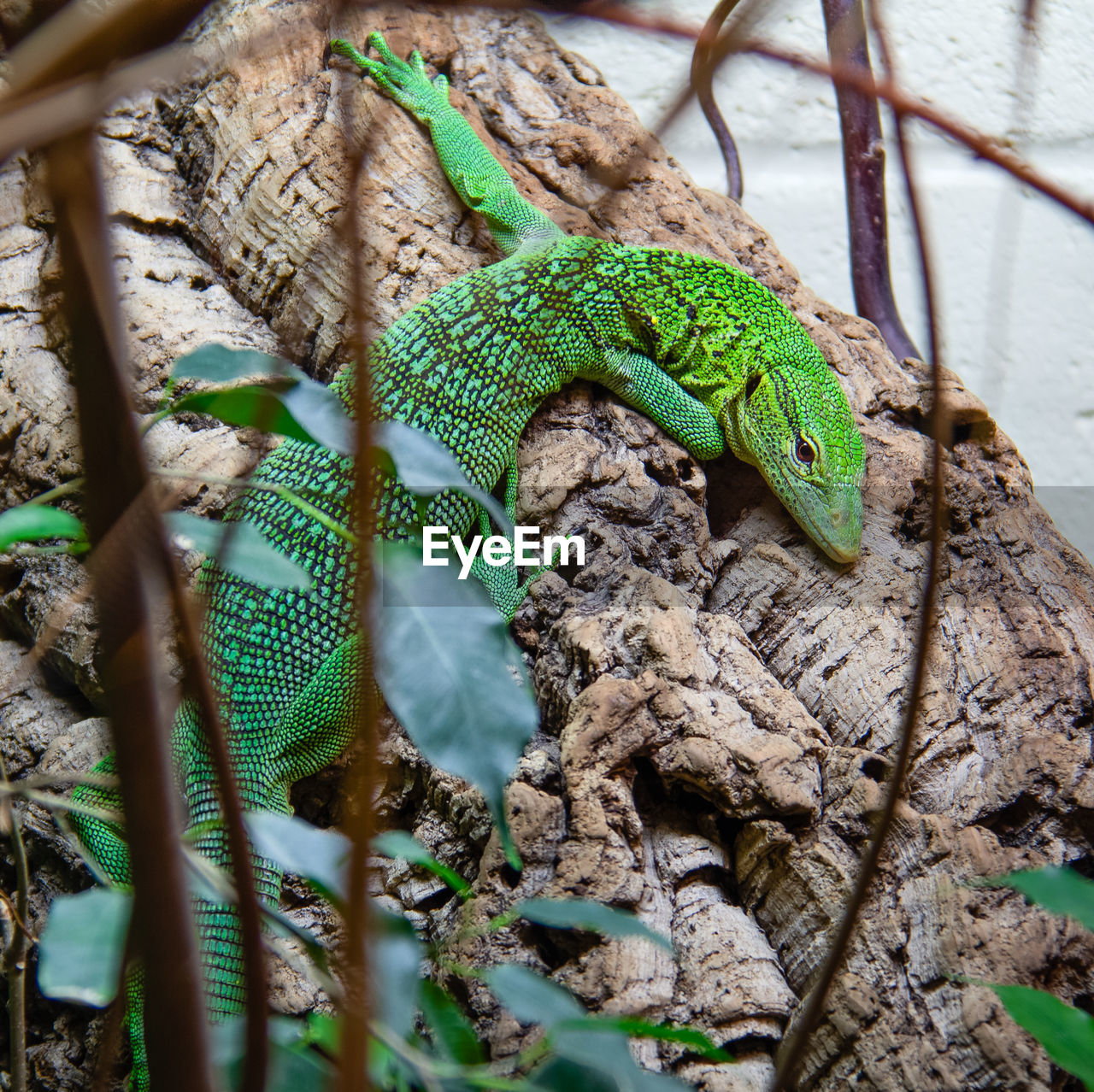 animal wildlife, reptile, green color, animals in the wild, one animal, animal themes, animal, no people, nature, plant, vertebrate, lizard, tree, close-up, selective focus, day, branch, outdoors, plant part, wood - material, animal scale, iguana