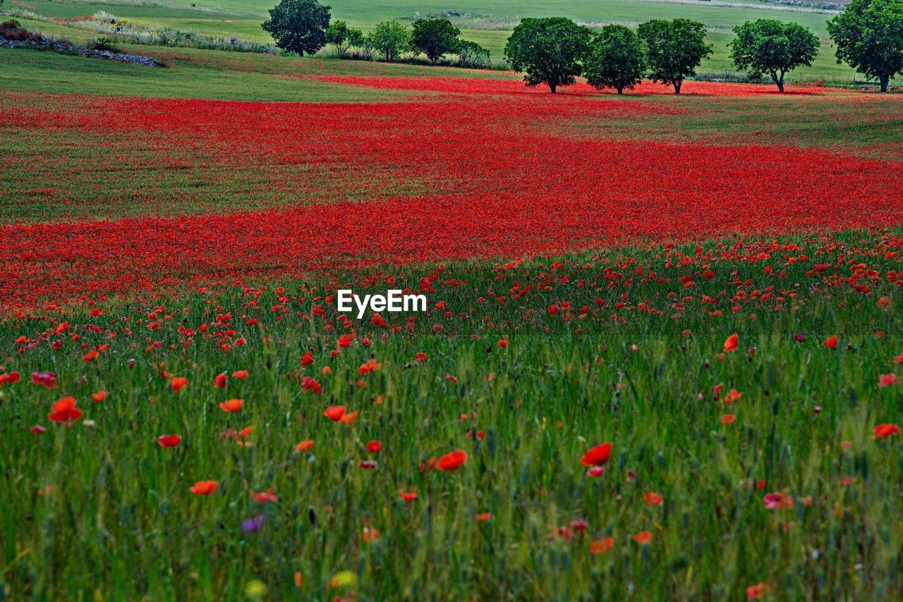 plant, flowering plant, flower, field, beauty in nature, land, growth, landscape, environment, tranquility, tree, red, tranquil scene, freshness, nature, scenics - nature, grass, rural scene, no people, day, flowerbed, outdoors, poppy, springtime
