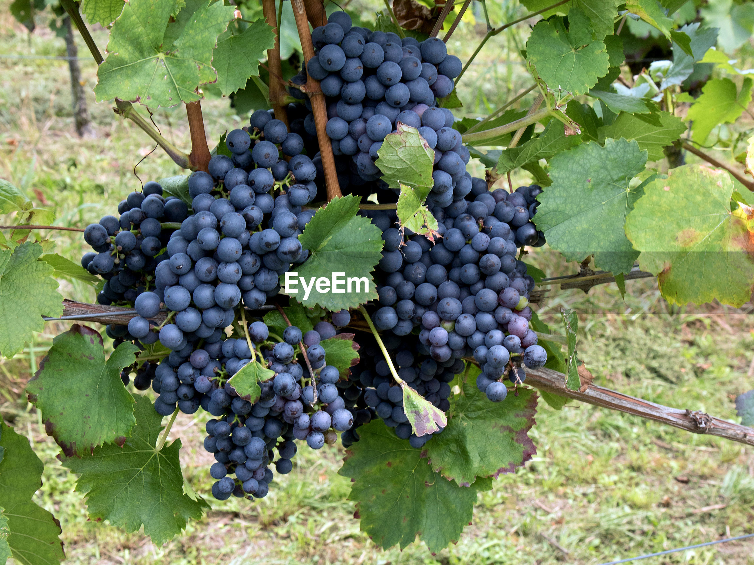 VIEW OF GRAPES