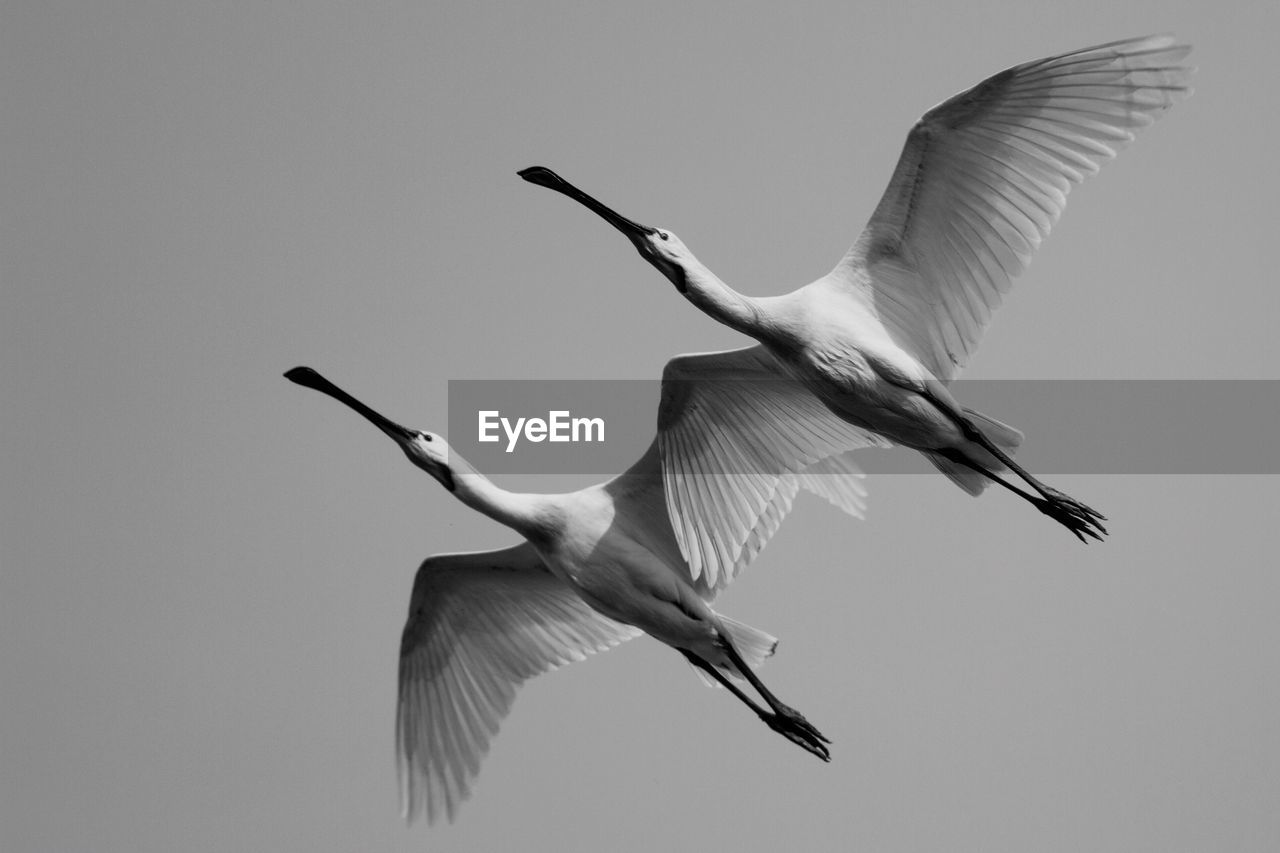 Low angle view of spoonbills flying against sky