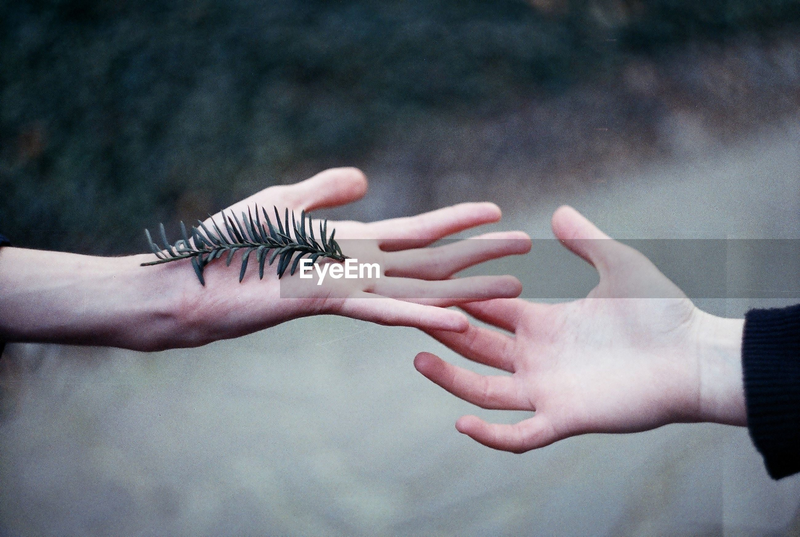 Cropped image of hands with pine twig