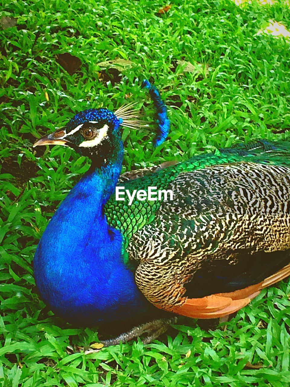 High angle view of peacock on grassy field