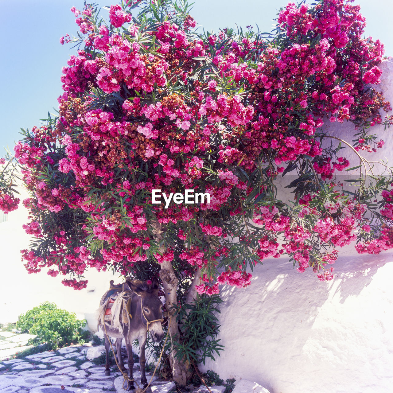 flower, growth, pink color, nature, tree, beauty in nature, blossom, plant, no people, blooming, fragility, freshness, day, bougainvillea, outdoors