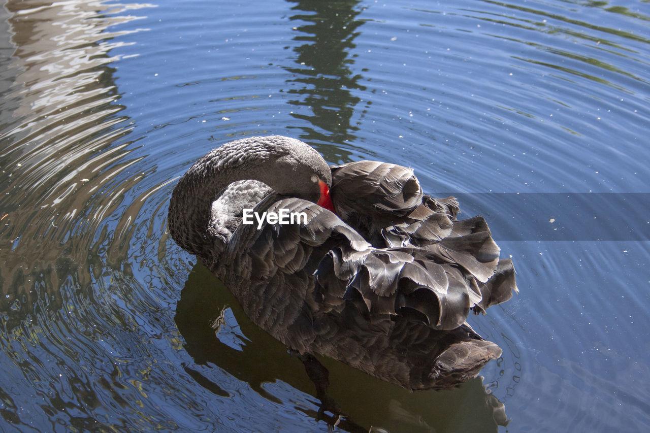 water, animal themes, animal wildlife, animal, lake, bird, vertebrate, animals in the wild, one animal, swan, day, no people, waterfront, swimming, nature, water bird, rippled, black swan, high angle view, animal neck, cygnet