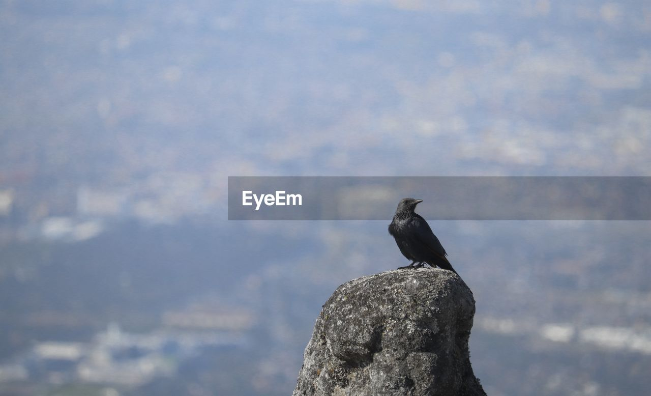 animal, animal wildlife, animals in the wild, vertebrate, bird, one animal, animal themes, perching, no people, day, solid, rock, black color, focus on foreground, nature, rock - object, outdoors, crow, raven - bird, sky, mountain peak