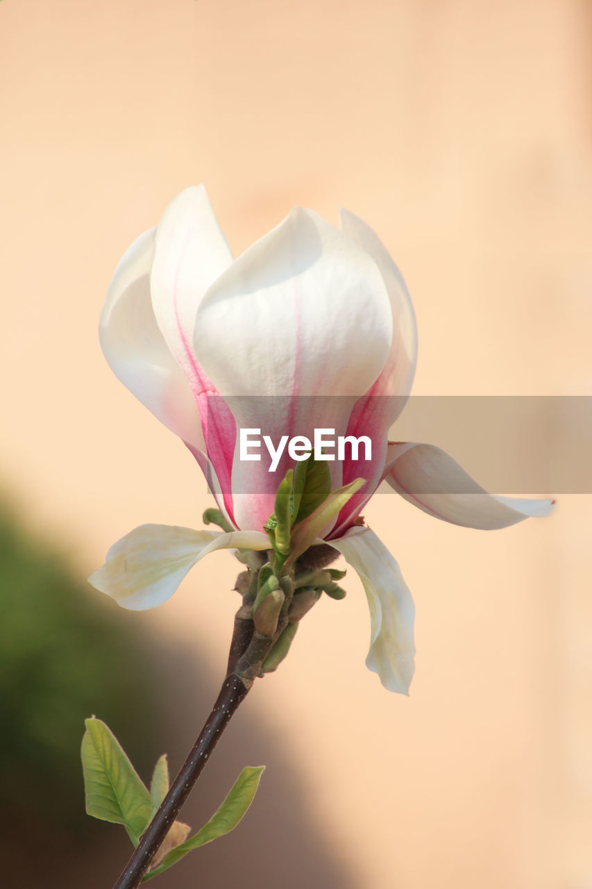 plant, flower, beauty in nature, flowering plant, vulnerability, fragility, petal, close-up, pink color, growth, freshness, inflorescence, nature, focus on foreground, flower head, no people, plant stem, plant part, leaf, outdoors, sepal
