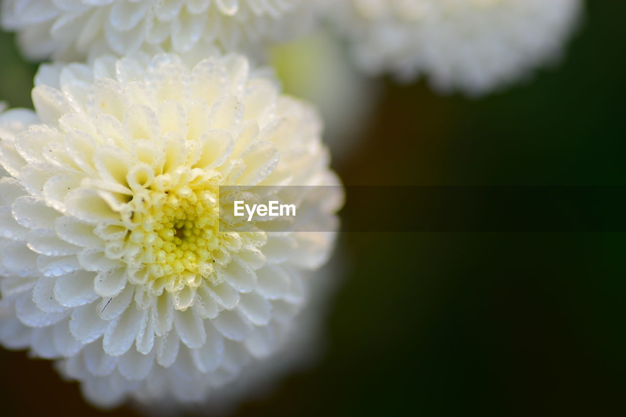 flower, flowering plant, plant, vulnerability, freshness, fragility, beauty in nature, flower head, close-up, inflorescence, petal, growth, no people, white color, nature, focus on foreground, pollen, selective focus, drop