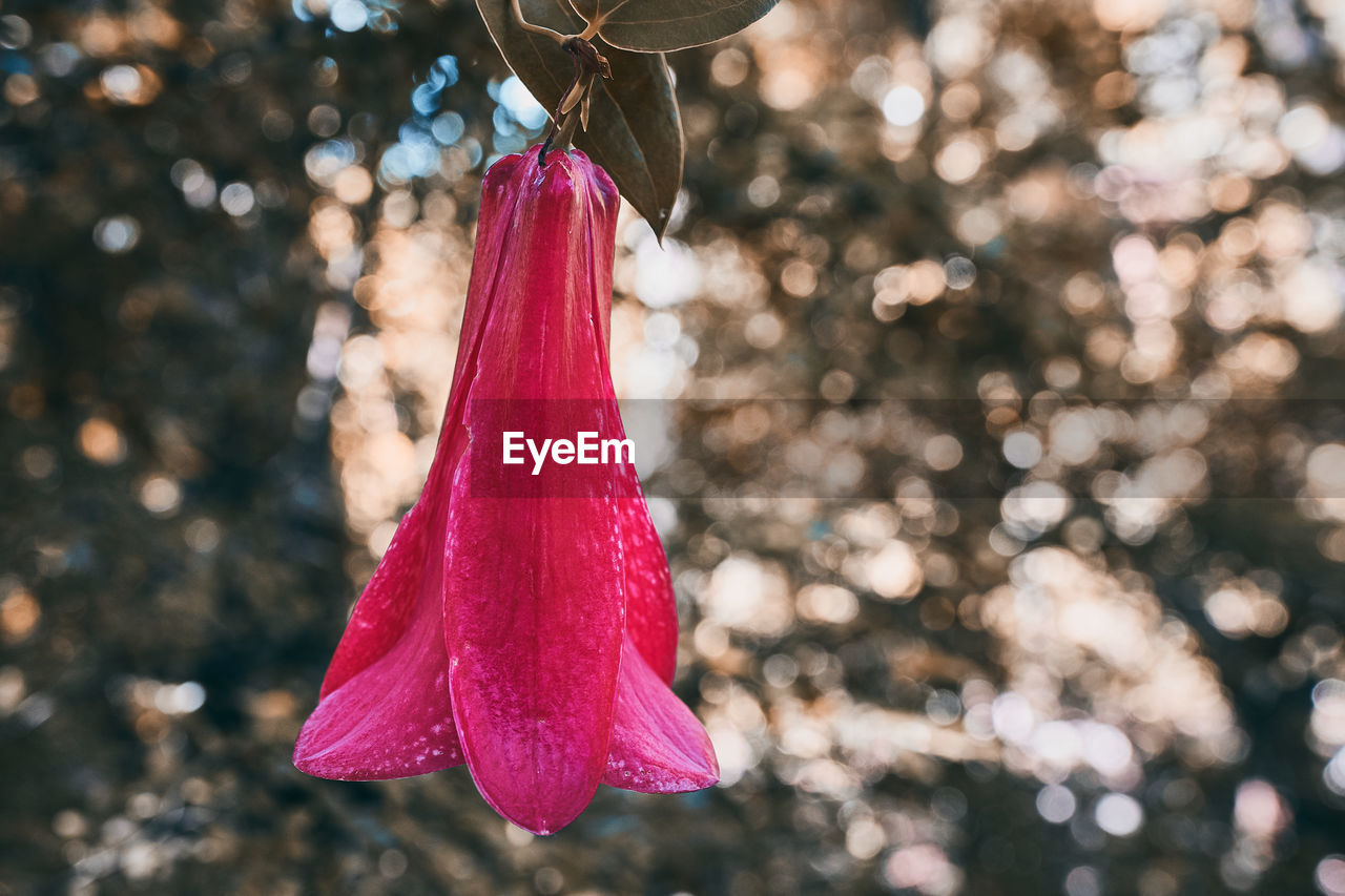 focus on foreground, close-up, tree, hanging, red, celebration, christmas, decoration, pink color, plant, day, outdoors, holiday, christmas tree, christmas decoration, no people, nature, clothing