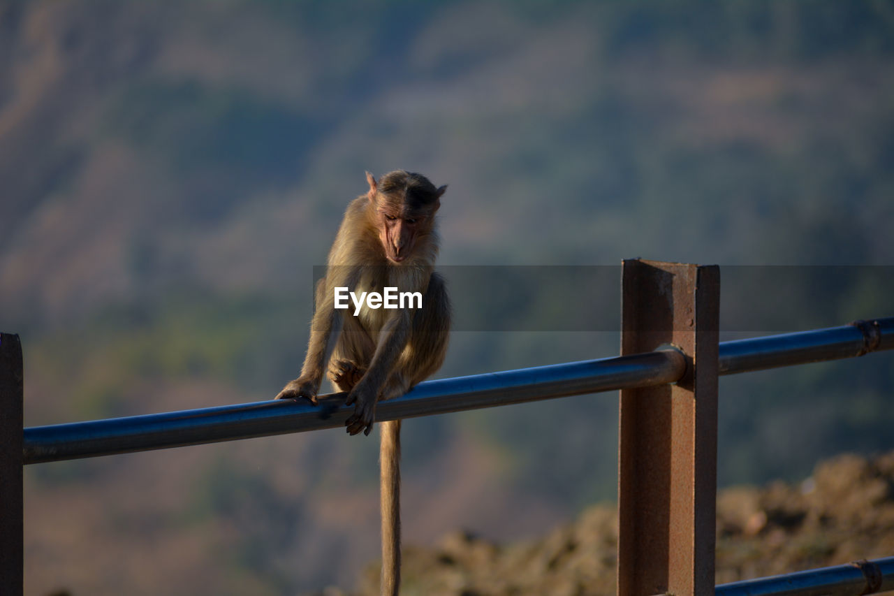 Monkey on railing against blurred background